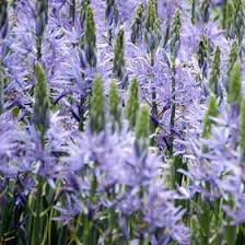 camassia leichtlinii caerulea grow bulbs and gardens