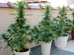 recolte cannabis exterieur date guide culture extérieure graines de cannabis auto floraisons