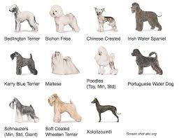 List Of Non Shedding Hypoallergenic Dogs by 13 List Of Non Shedding Hypoallergenic Dogs Small Dog