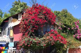 100 Blooming House Chile Pomaireblooming House I