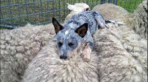 8 things you didn t know about australian cattle dogs rover com