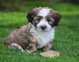 Non Shedding Dogs Family Friendly by Baby Barks Bichon Shih Tzu Breeder Shichon Zuchon Puppies For