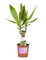 6ft Pre Lit Christmas Tree Bq by Verve Dragon Tree In Plastic Pot Departments Diy At B U0026q