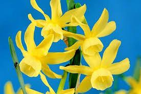 buy daffodil narcissus hawera bulbs ashridge nurseries