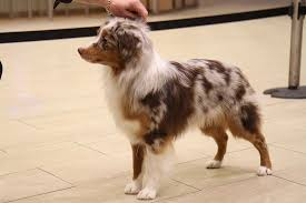 Non Shedding Dogs Small To Medium by Small Medium Dog Breeds For Home Dog Breeds Puppies Small Medium