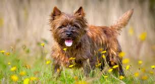 cairn terrier shed hair 5 things to about cairn terriers petful