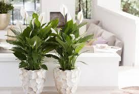 2 luftreinigende zimmerpflanzen outspot