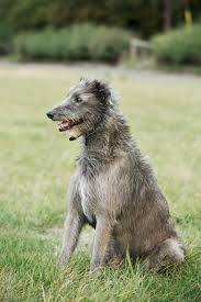 Dogs That Dont Shed Hair Ireland by 15 Quiet Dog Breeds Dogs That Don U0027t Bark
