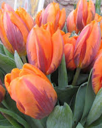 tulips bulbs for autumn planting bulbs plants and more