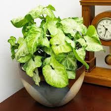 plantes vertes d interieur plante verte d interieur photo evtod