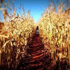 Pumpkin Picking Corn Maze Long Island Ny by In The Fall There U0027s Pumpkin Picking And Corn Mazes And Hay Rides