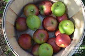 Best Pumpkin Apple Picking Long Island Ny by Apple Picking At Lewin Farm In Wading River East Of Nyc U2013 Long