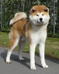 Do Akita Dogs Shed Hair by Akita History Personality Appearance Health And Pictures