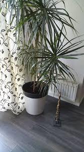dracaena palme nach umtopfen direkt gießen umpflanzen