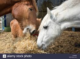 Horses Eating Straw In A Barn Stock Photo, Royalty Free Image ... Just Horses In The Barn Horse Portraits Treading George Washingtons Mount Vernon How Your Horse Learns By Watching You Owners Resource In A Painted Petcustom Pet Patings Two Cadian And Snow Weather Stock Video Footage East Bay Real Estate The West Side Story Barns For Miniature Small Horizon Structures Cooling Horses Archives Windmill Ceiling Fans Offtopic Monday Photos Peace Love Fostering Arabian Stable Looking Over The Barn Door Nice Using Premise Sprays To Protect Absorbine