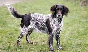 Dogs That Shed Very Little by Small Munsterlander Dog Breed Information