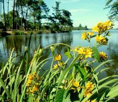 fleur et plante du lac plantes du lac et l apm caroline pc40