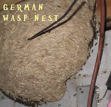 wasp bee bumblebee nest and removal the helpful pest