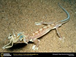 Do Baby Leopard Geckos Shed by Adorable Leopard Geckos Page 346
