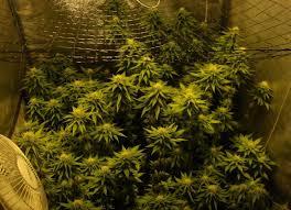fin de floraison cannabis exterieur informations générales