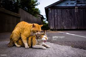 cats mating cat mating stock photos and pictures getty images