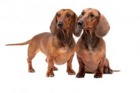 Do Long Haired Chiweenies Shed by Chiweenie