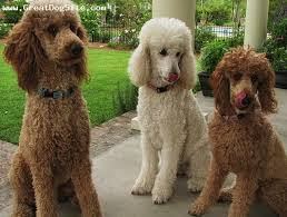 Dogs That Shed Very Little by Top 5 Family Dogs