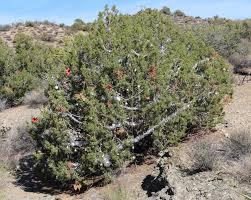 Ticks On Christmas Trees 2015 by Jeep Trails Near Laughlin Nevada U2013 Seize The Day Rv Adventure