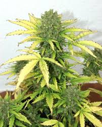 recolte cannabis exterieur date culture en extérieur cannabis autoflorissant en smartpot