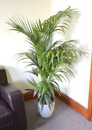 plantes pour bureau plante d intérieur plante pour la maison ou le bureau howea