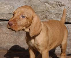 Vizsla Dog Breed Shedding by Wirehaired Vizsla Info Temperament Puppies Pictures