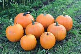 Where Did Pumpkin Patch Originate by Best Places To Pick Halloween Pumpkins From The Patch In Liverpool