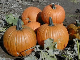 Can Rabbits Eat Roasted Pumpkin Seeds by Category Roasting Pumpkin Seeds K State Horticulture Newsletter