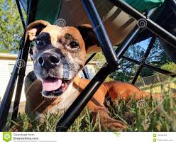 Boxer Dog Under Chair Stock Photo. Image Of Folding - 100481942 Flash Fniture Kids White Resin Folding Chair With Vinyl How To Save Yourself Money Diy Patio Repair Aqua Lawn The Best Camping Chairs Travel Leisure Pair Of By Telescope Company Top 14 In 2019 Closeup Check Lavish Home Black Cushion Seat Foldable Set 2 7 Sturdy For Fat People Up To And Beyond 500 Pounds Reweb A 10 Easy Wooden Benches Family Hdyman Wrought Iron Ideas Outdoor Stackable