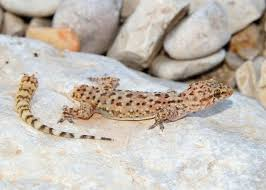 Crested Gecko Shedding Behavior by 12 Surprising Facts About Geckos Mnn Mother Nature Network