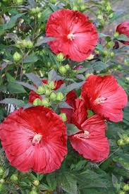 hardy hibiscus for sale buy mallow plant delights nursery