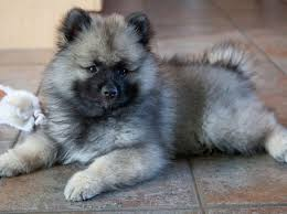 Dogs That Dont Shed Keeshond by 17 Adorable Dog Breeds You U0027ve Never Heard Of And Need To Know
