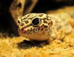 Crested Gecko Shed Stuck On Eye by Eye Issues In Pet Leopard Geckos