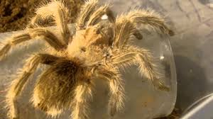 Pumpkin Patch Tarantula Scientific Name by Tarantula Feeding 126 Part 2 The Entire Collection Youtube