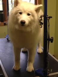Do Samoyed Dogs Shed Hair by St Boni Pet Hospital Veterinarian In St Bonifacius Mn Usa