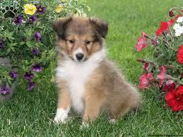 Chelsie Shetland Sheepdog puppy for sale in Oxford Pa