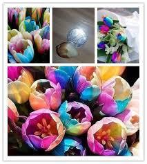 world rainbow tulip bulbs the most beautiful flower seeds