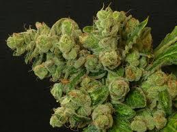 recolte cannabis exterieur date récolte du cannabis du growshop alchimia