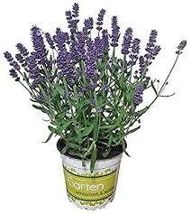lavendel lavendel pflanze im großen topf in 1a