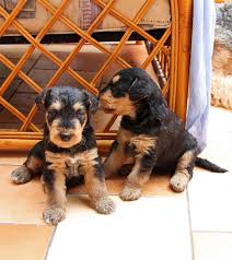 Do Airedale Puppies Shed by 100 Do Airedale Puppies Shed 100 Do Non Allergenic Dogs