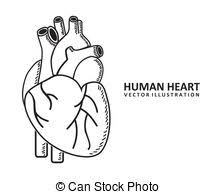 Vector Clip Art Of Human Heart Detailed Anatomy Colorful Design