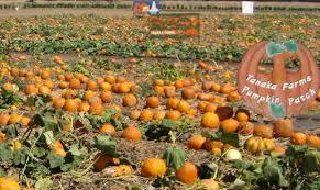 San Jose Pumpkin Patch 2017 by 2014 Tanaka Farms You Pick Pumpkin Patch Pumpkin Patch Provides