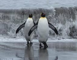 video of penguins on treadmills reveals how their waddles help
