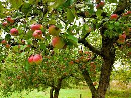 Mapping North Georgia's Apple Orchards In Time For Fall Herb Apple Gruyere Scones Now Forager The Best Picking Near Atlanta In Map Form Tennessee Seerville Barn Orchard Winesap Apples 18 Bushel Red Orchards Mt Hood Stock Image 24641381 Orchard Front Mount Photo 27690034 Shutterstock Winery Elkhorn Wi Barnquilt Appleorchard Mapping Georgias In Time For Fall Splendor Experience Autumn At Edwards West