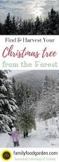 Longest Lasting Christmas Tree by A Christmas Tree From The Forest